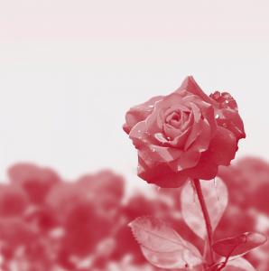 rose fund background